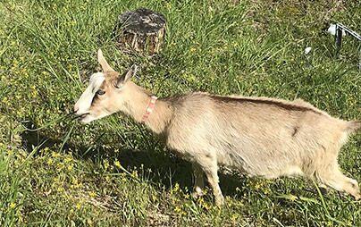 今年もヤギさんが関工場に来ました!除草活動がスタート。