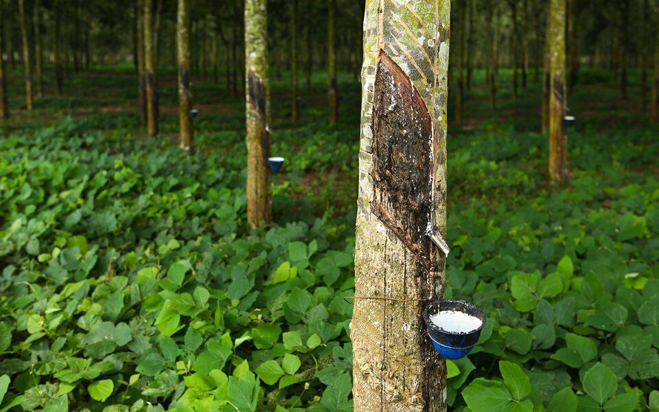 ゴムの木」の病害診断 | テクノ...